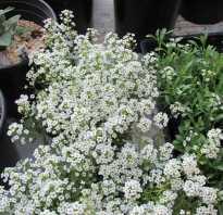 Выращивание алиссума из семян