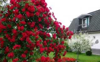 Когда лучше садить розы осенью или весной