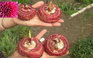 Подготовка клубнелуковиц гладиолусов к зимнему хранению