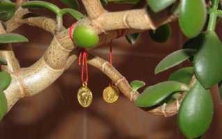 Комнатный цветок денежное дерево как ухаживать