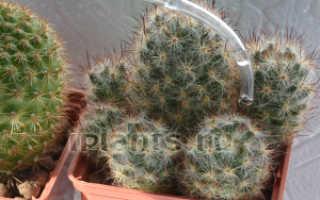 Как правильно поливать кактус