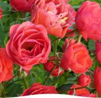 Как вырастить укорененную розу