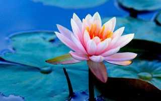 Лилии на воде