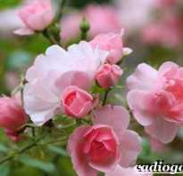 Бенгальская красная роза