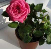 Домашняя роза засохла что делать