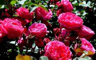 Агротехника роз морден санрайз mordensunrise