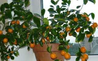 Пересадка мандаринового дерева в домашних условиях
