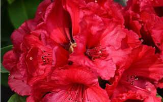 Рододендрон red jack