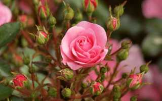 Описание розы роза лидия лавли lydia lovely