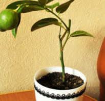 Растение лимон в домашних условиях как ухаживать