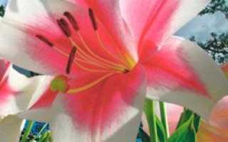 Уход за лилиями в саду и дома