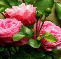 Видео технология выращивания роз