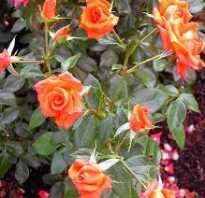 Обрезка бенгальской розы