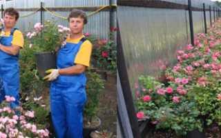 Как посадить розу «поль гоген»