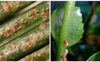 Как вывести щитовку из комнатных растений