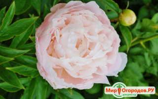 Пионы молочноцветковые роскошные и надежные
