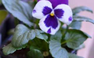 Фиалка виола Виттрока выращивание уход и сорта