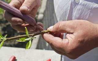 Заготовка черенков груши для весенней прививки