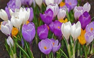 Цветы крокусы посадка и уход фото