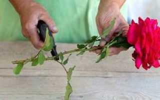 Как правильно посадить черенки роз осенью