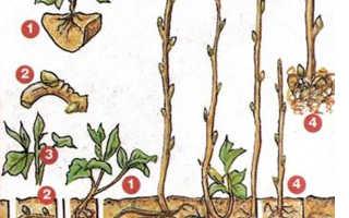 Разведение малины черенками
