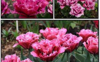 Бахромчатые тюльпаны общее описание