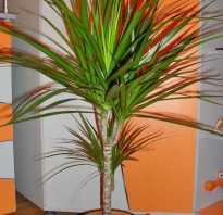 Драцена цветок уход в домашних условиях