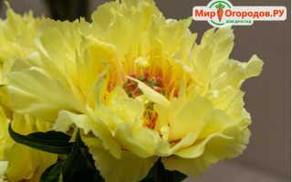 Сорта пионов ито гибридов желтых цветов