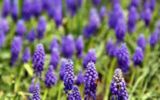 Цветы мускари – описание