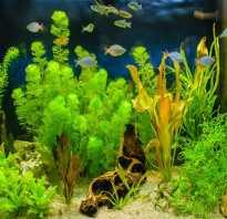 Аквариумные цветущие растения