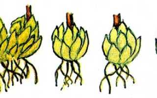 Лилии размножение несколькими способами