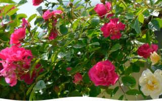 Как укрывать почвопокровные розы на зиму