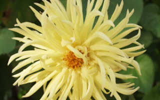 Размножение георгин семенами и делением корнеклубней