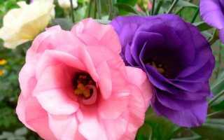 Цветы голубого цвета лизиантус