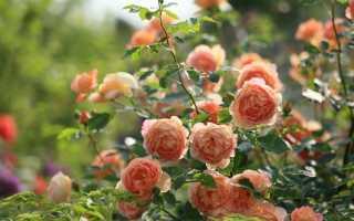 Зачем нужно подкармливать розы