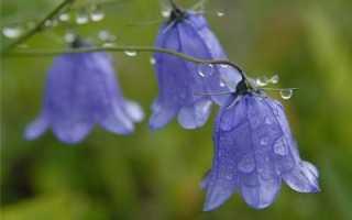 Цветы колокольчики – описание