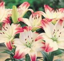 Советы цветоводов когда и как пересаживать лилии