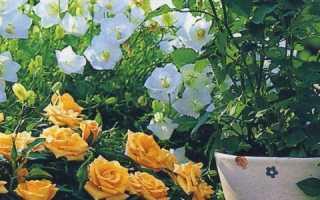 Как поливать розу комнатную