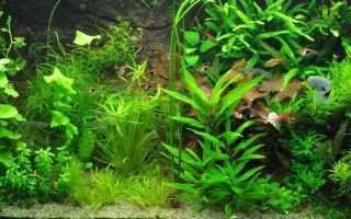 Лимонник аквариумное растение содержание