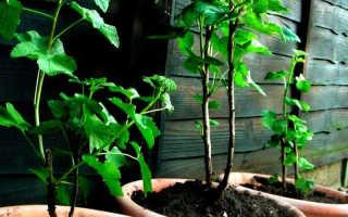 Как размножить смородину черенками осенью
