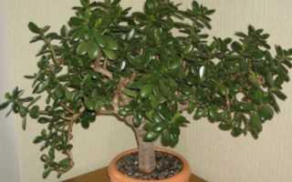 Денежное дерево как вырастить из листочка