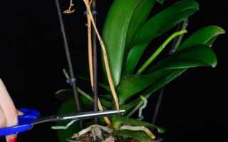 Что делать когда орхидея отцвела