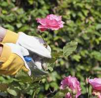 Варианты обрезки кустов роз