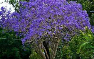 Дерево с фиолетовыми цветами