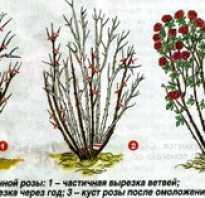 Готовим розы к зиме обрезка