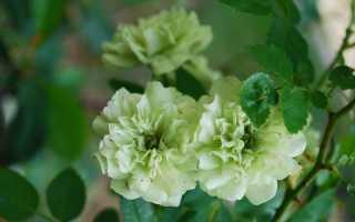 Зелёные розы фото