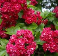 Многолетние цветущие летом кустарники для дачного участка