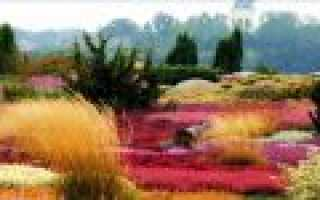 Цветы вереска фото