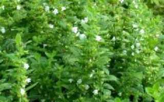 Растение мелисса полезные свойства