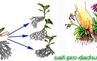 Способы размножения хризантем